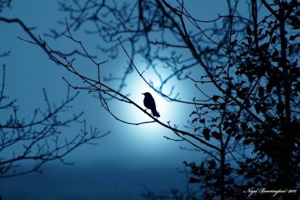 Ballykeefe woods blackbird
