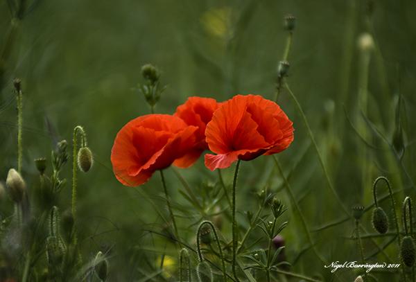 Poppies, Kells Co.Kilkenny