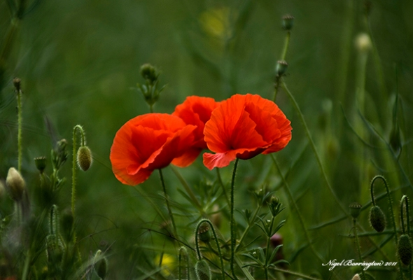 Poppies, Kells Co.Kilkenny