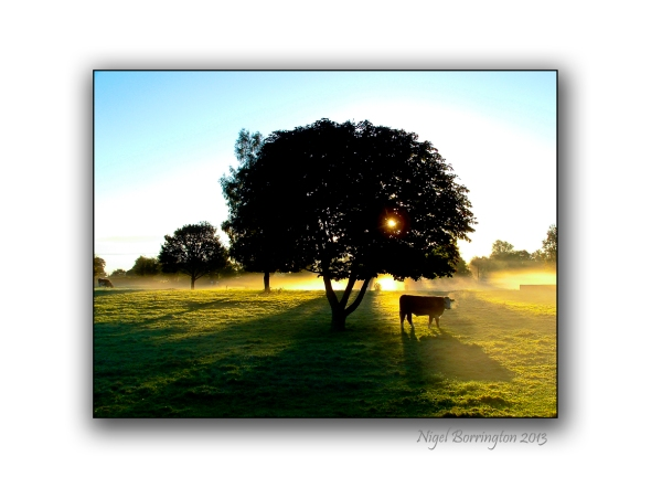 Callan Cows