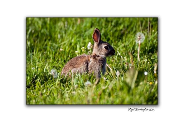 rosskerrig Bunny