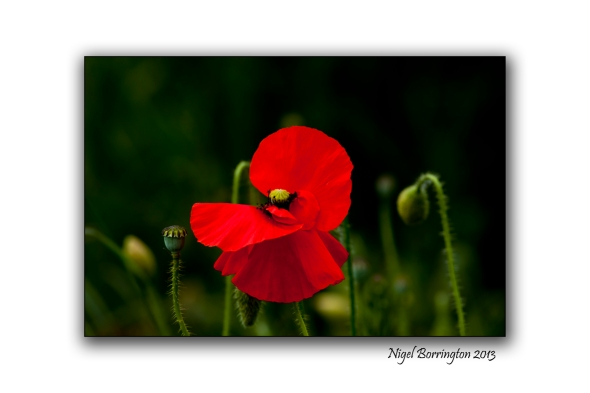 The poppy in history