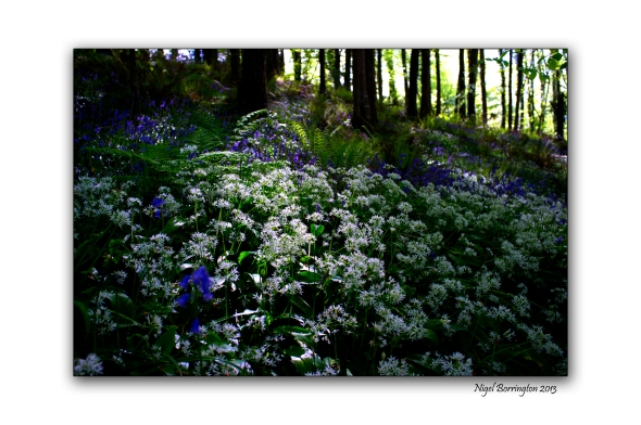 Bluebells and Wild Garlic 2