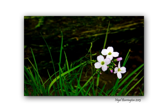 cuckoo flowers from the river bank
