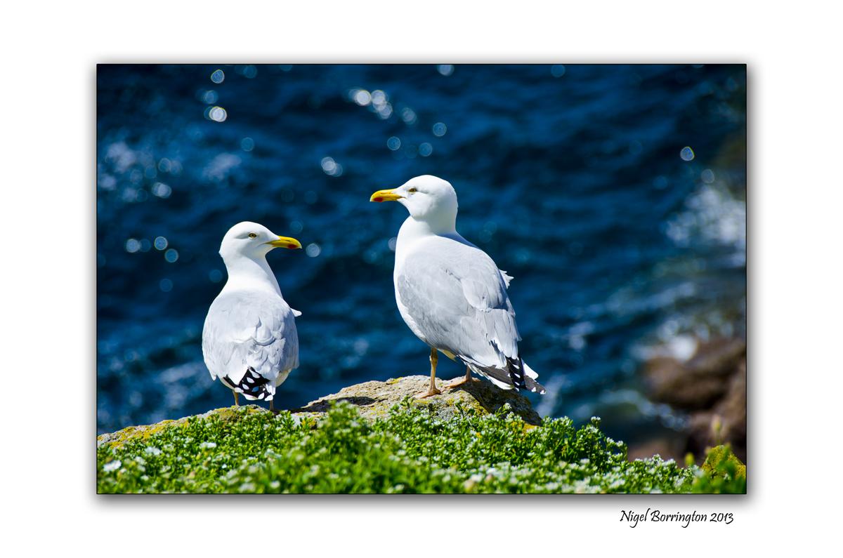 Great black backed gulls