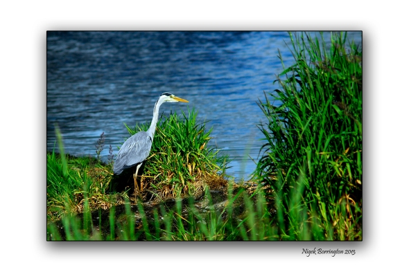 Kilkenny photography young heron