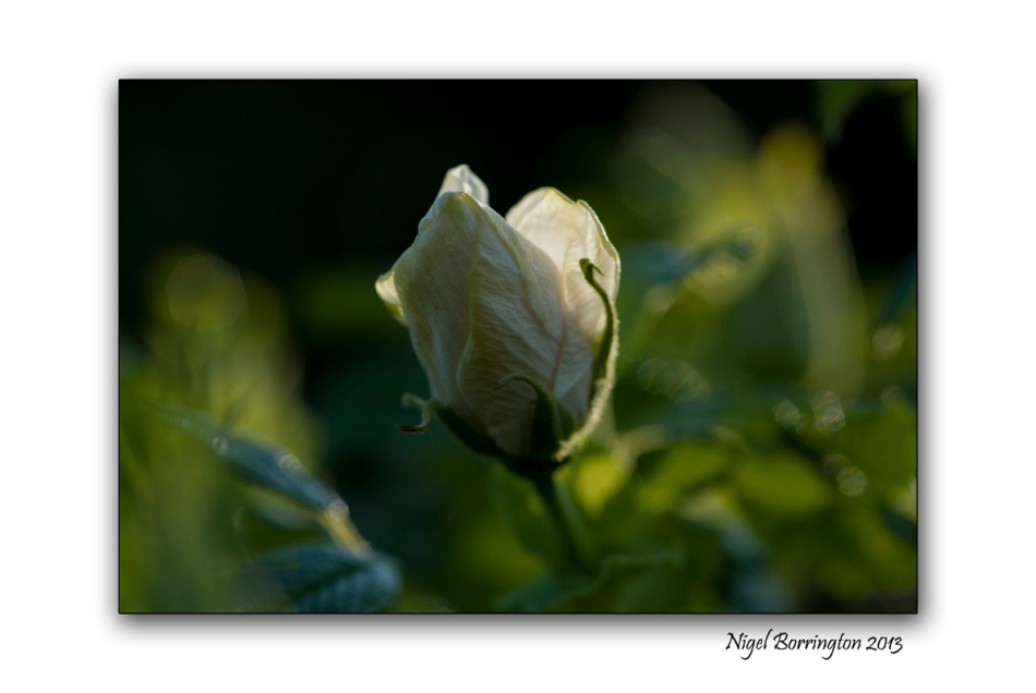 rose buds 2