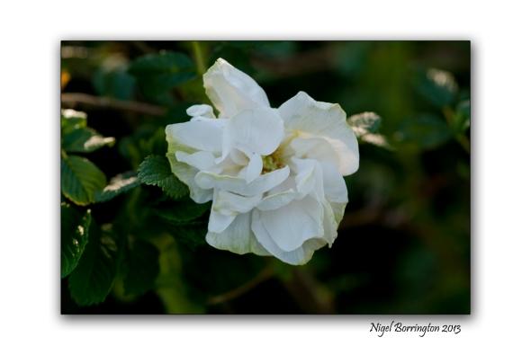 rose buds 3