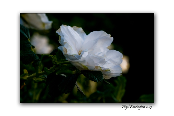 rose buds 5