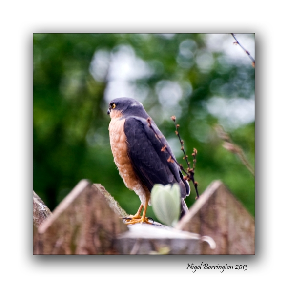 bird of pray Sparrowhawk