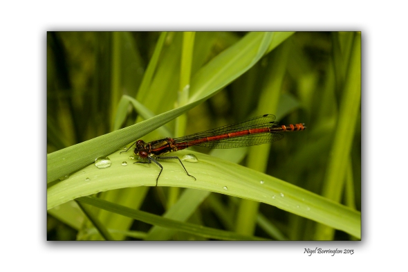 red damselfly on the banks of the Barrow 1