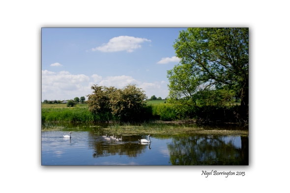 Swans on the river Barrow