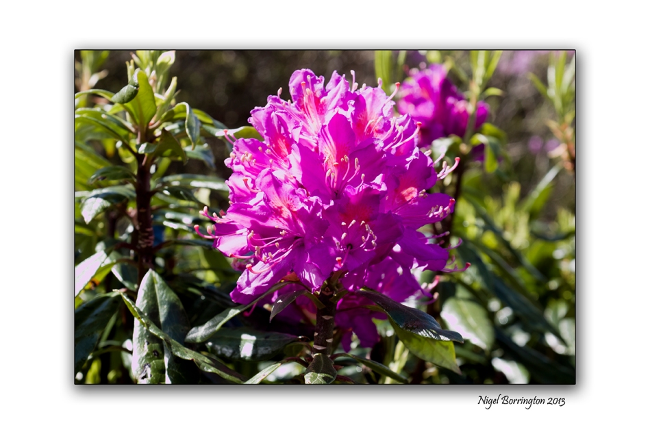 When Rhododendron Bloom at the Vee 100