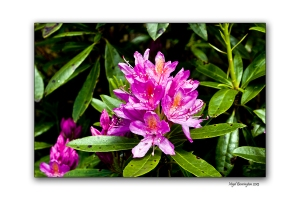 When Rhododendron Bloom at the Vee 101