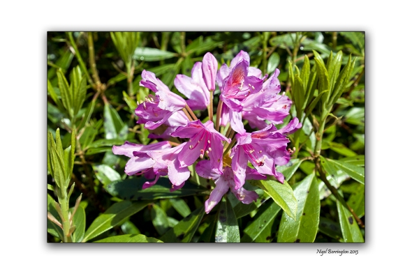 When Rhododendron Bloom at the Vee 102