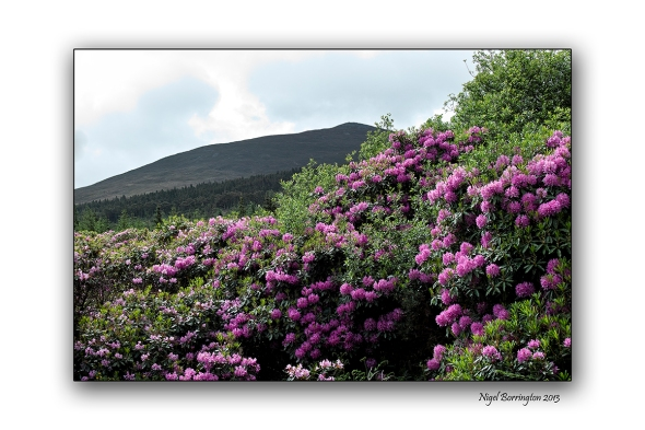 When Rhododendron Bloom at the Vee 2