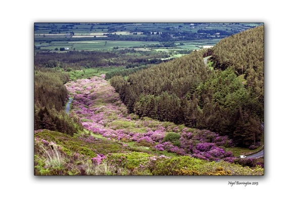 When Rhododendron Bloom at the Vee 3
