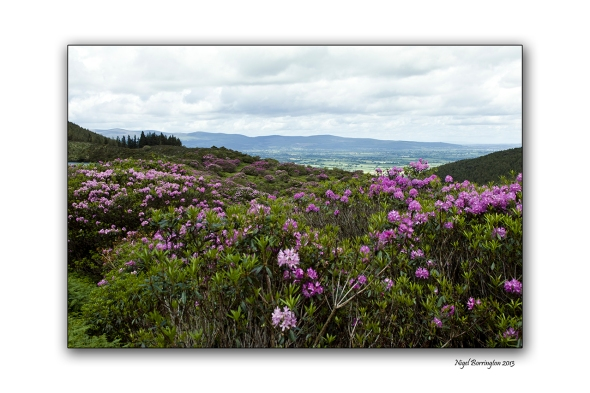 When Rhododendron Bloom at the Vee 5