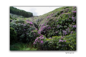 When Rhododendron Bloom at the Vee 6
