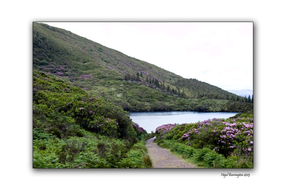 When Rhododendron Bloom at the Vee 7