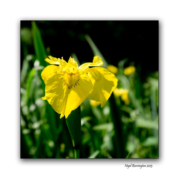 Yellow Iris Iris pseudacorus Flower