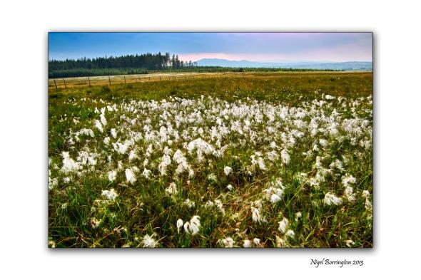 bog cotton fields 3