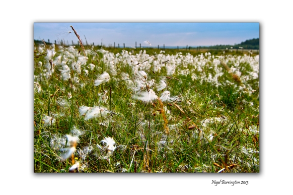 bog cotton fields 4