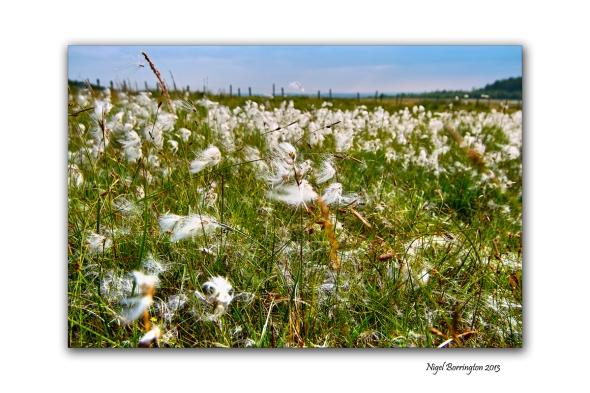 bog cotton fields 4