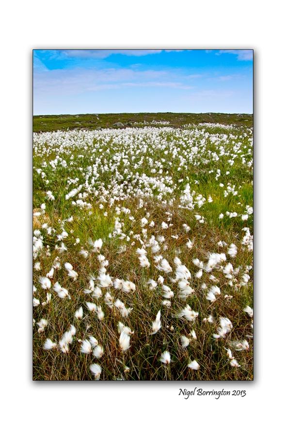 bog cotton fields 5