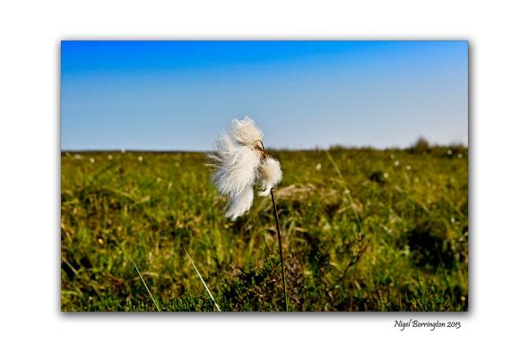 bog cotton fields 6