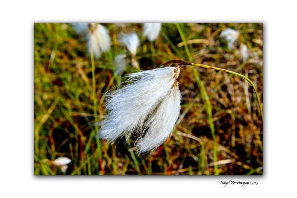 bog cotton fields 7