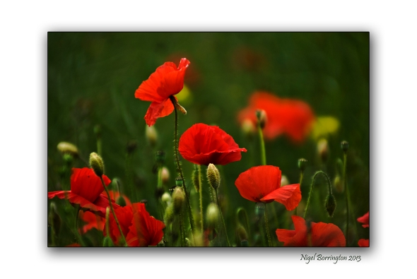 duckets grove poppy fields close up
