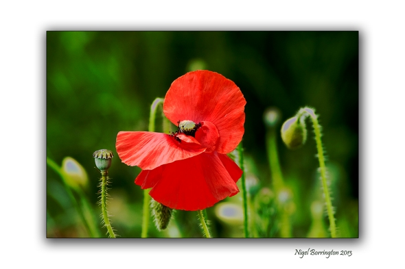 duckets grove poppy fields macro