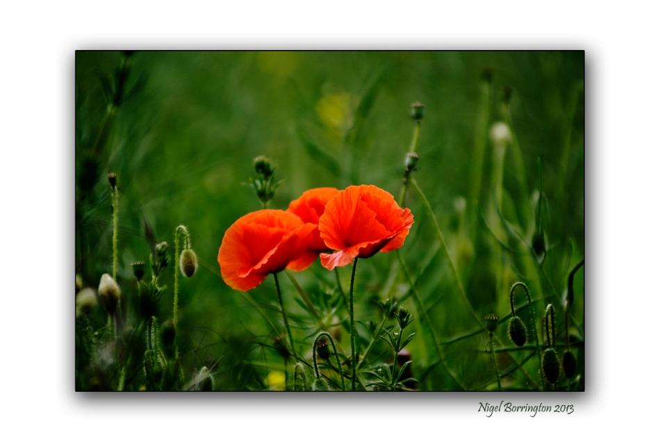 duckets grove poppy fields