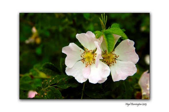 Wild rose heads on the banks of the river suir
