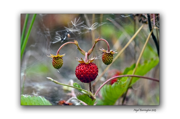wild Strawberries 2