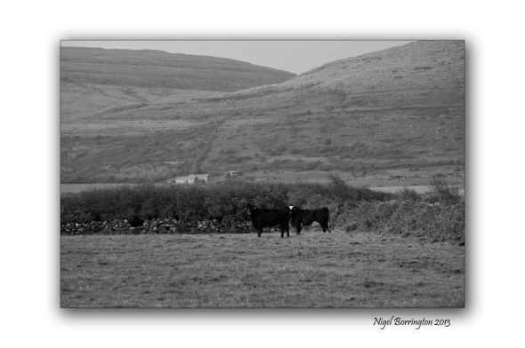 Cattle Just Grazing