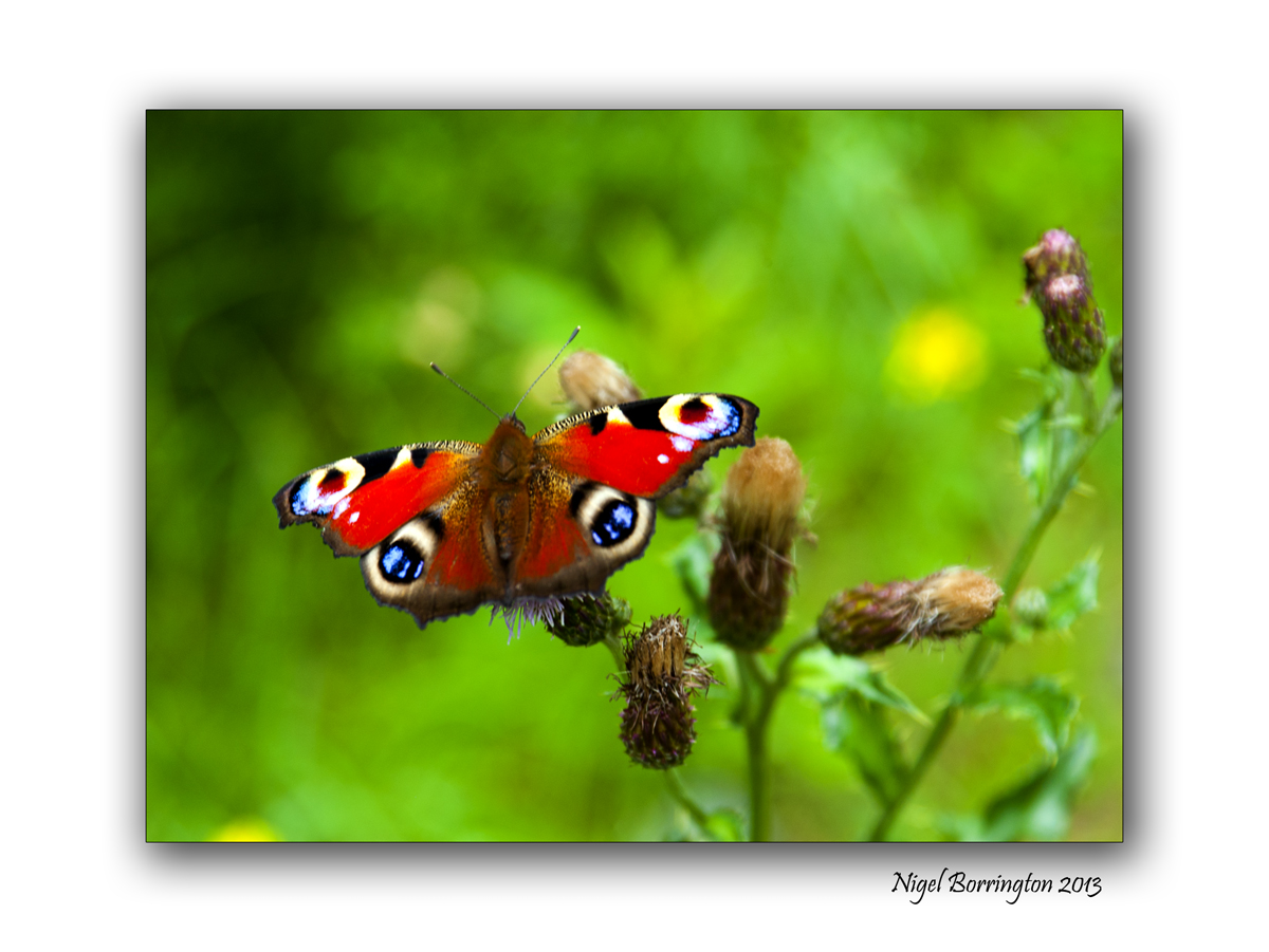 Peacock Butterfly 1