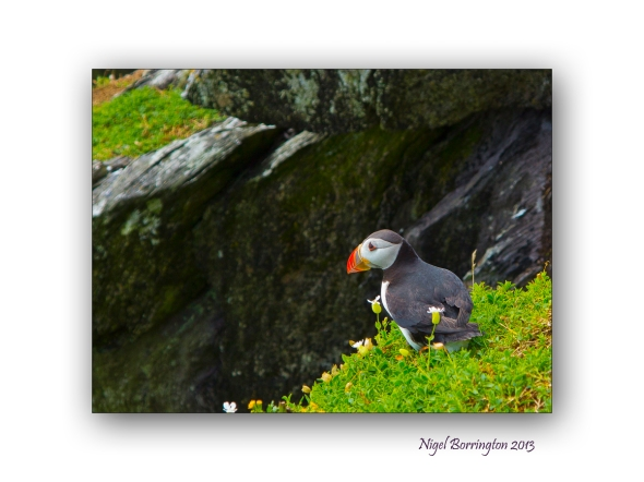 Puffins on Skellig Michael 1