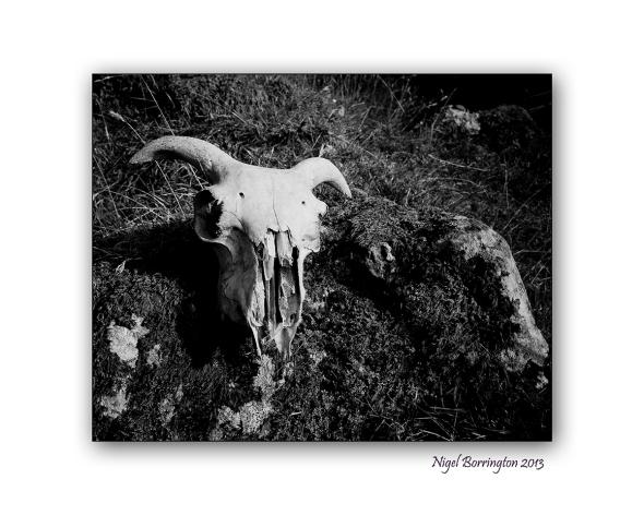 the sheeps skull 1