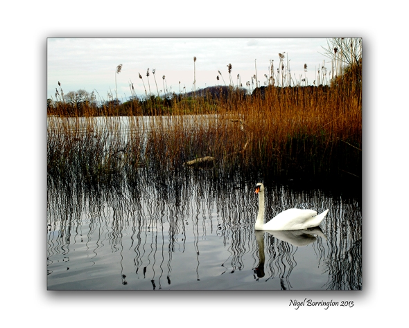 Irish wildlife photography swans