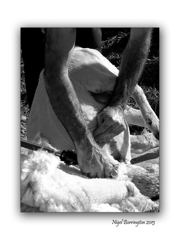 Sheep Shearers 4