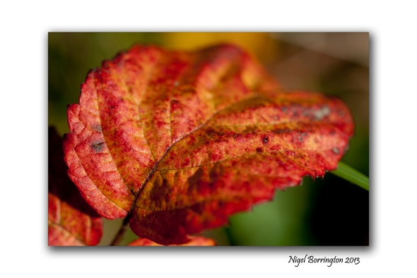 Blackberrie leaf 1