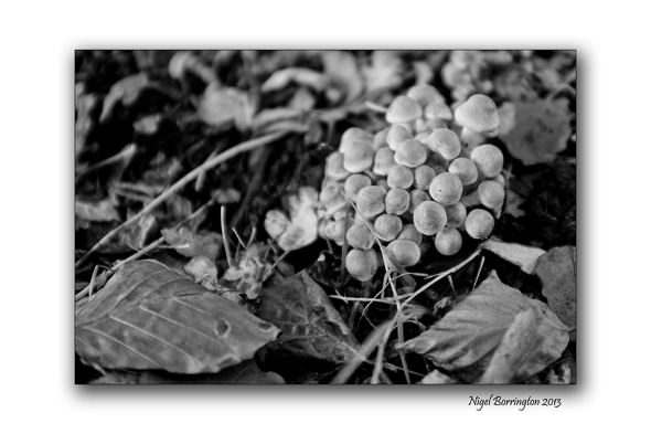 Irish wild Mushrooms 2