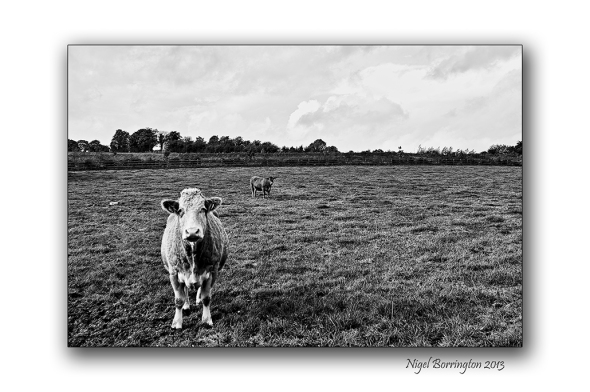 Two cows county kilkenny