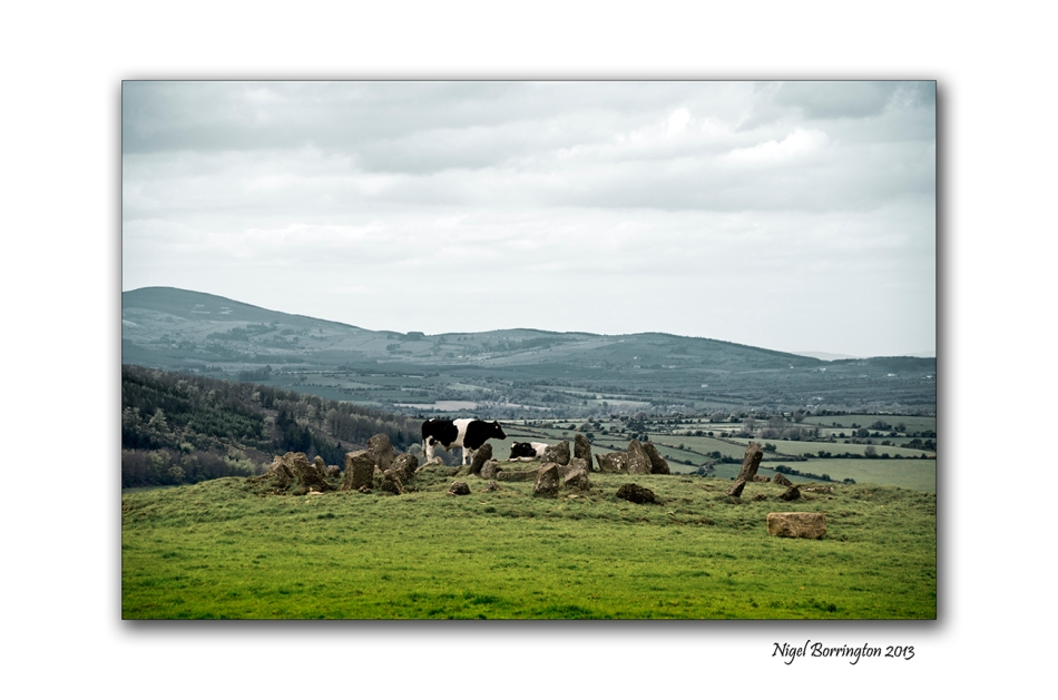 cattle at Tullaghought 1