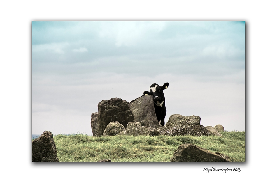 cattle at Tullaghought 2