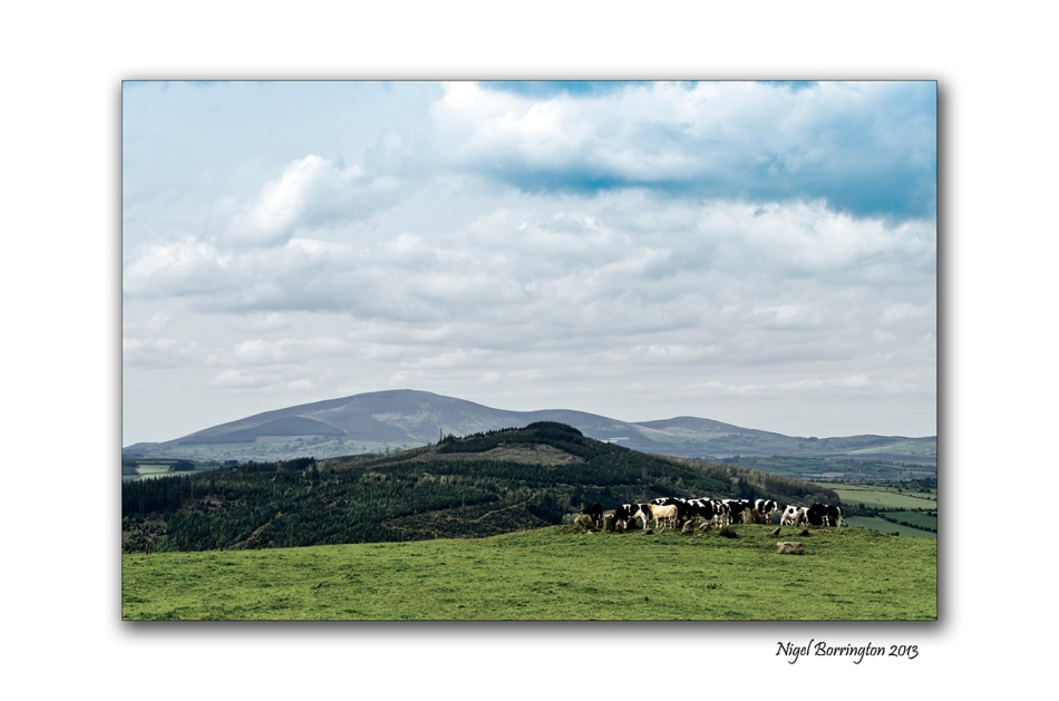 cattle at Tullaghought 3