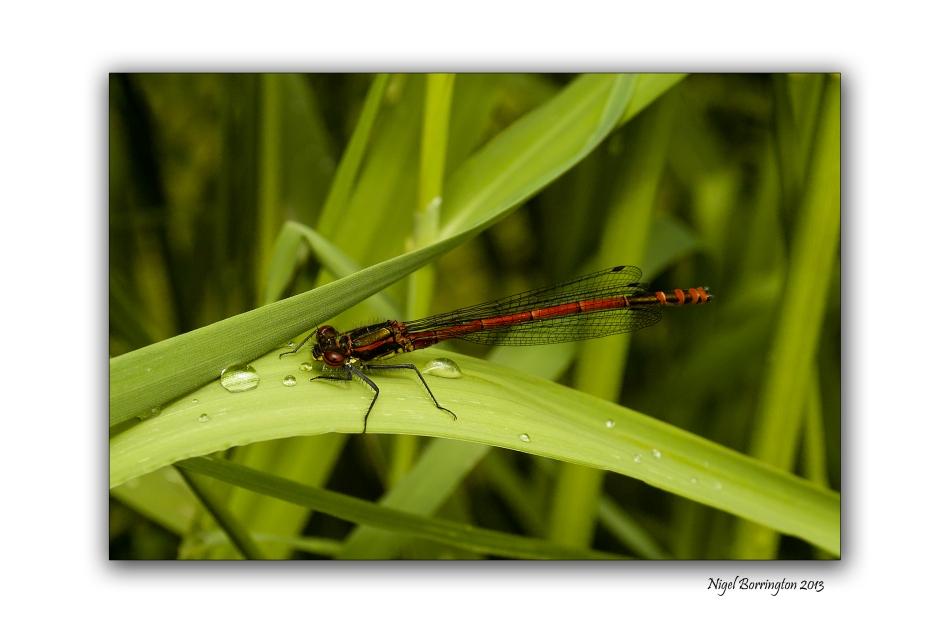 Dragon fly on the Barrow 1