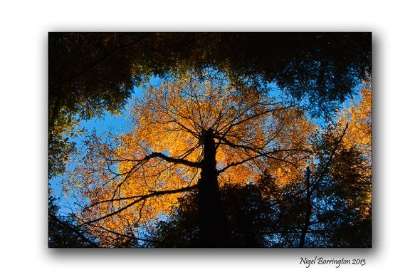 Golden Trees of Autumn 1